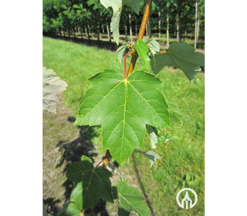 Acer rubrum 'Scanlon' | Rode Esdoorn - Meerstam