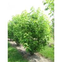 Acer saccharinum | Zilveresdoorn - Meerstam