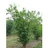 Boomkwekerij M. van den Oever Acer tataricum subsp. Ginnala | Chinese esdoorn - Meerstam