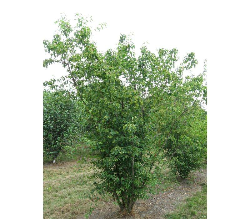 Acer tataricum subsp. Ginnala | Chinese esdoorn - Meerstam
