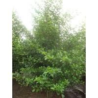 Alnus glutinosa | Zwarte Els - Meerstam