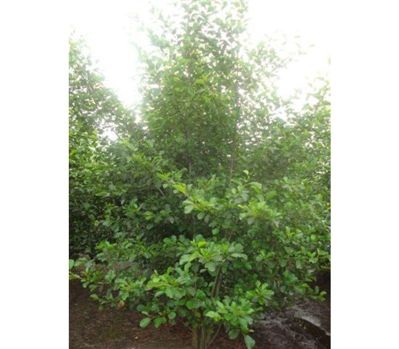 Alnus glutinosa   Zwarte Els - Meerstam