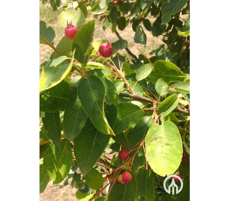 Amelanchier lamarckii | Amerikaans krentenboompje   - Meerstam