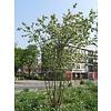 Boomkwekerij M. van den Oever Amelanchier lamarckii | Amerikaans krentenboompje   - Meerstam