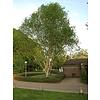 Boomkwekerij M. van den Oever Betula utilis 'Doorenbos' | Witte himalayaberk - Meerstam