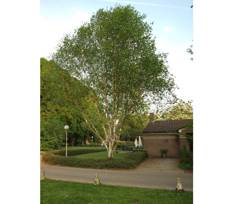 Betula utilis 'Doorenbos' | Witte himalayaberk - Meerstam
