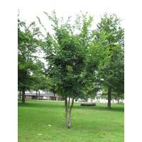 Carpinus betulus | Gewone haagbeuk - Meerstam