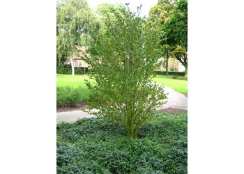 Boomkwekerij M. van den Oever Cercidiphyllum japonicum  - Meerstam
