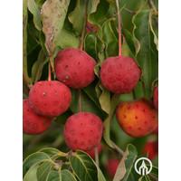 Cornus alternifolia | Kornoelje - Meerstam