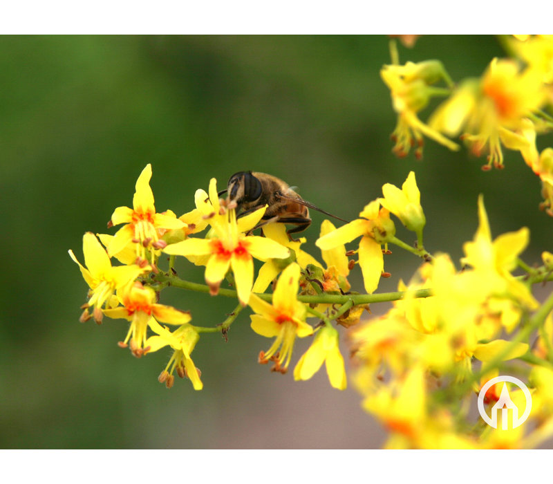 Koelreuteria paniculata | Chinese vernisboom - Meerstam