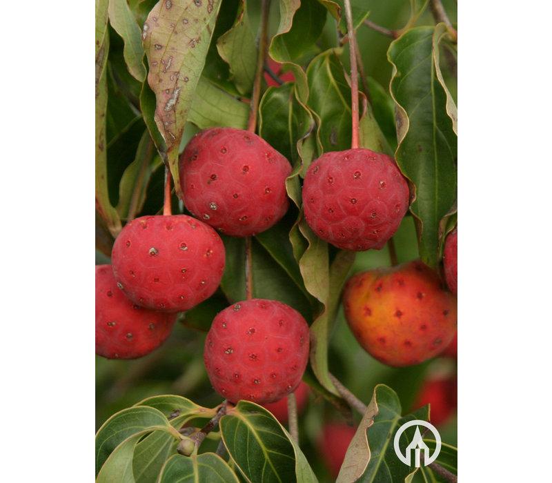 Cornus kousa var. Chinensis | Japanse grootbloemige kornoelje - Meerstam