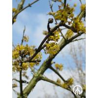 Cornus mas | Gele kornoelje - Meerstam