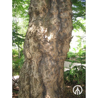 Ginkgo biloba | Japanse notenboom - Meerstam