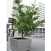Boomkwekerij M. van den Oever Ginkgo biloba | Japanse notenboom - Meerstam