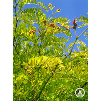Gleditsia triacanthos 'Sunburst' | Valse Christusdoorn  - Meerstam