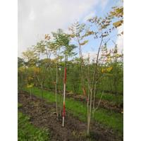 Gymnocladus dioica | Doodsbeenderenboom - Meerstam