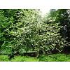 Boomkwekerij M. van den Oever Halesia carolina | Sneeuwklokjesboom  - Meerstam