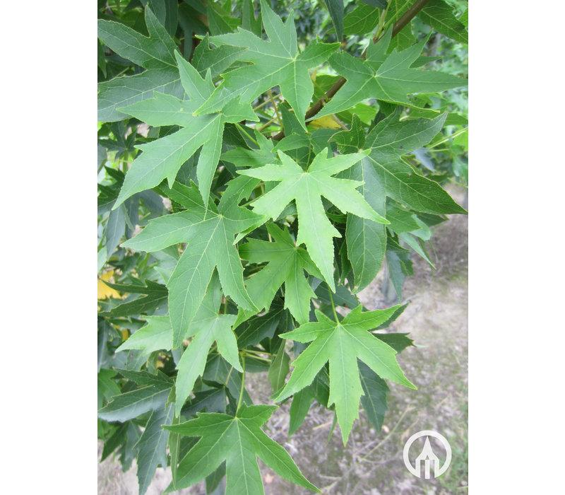 Liquidambar styraciflua | Amberboom - Meerstam