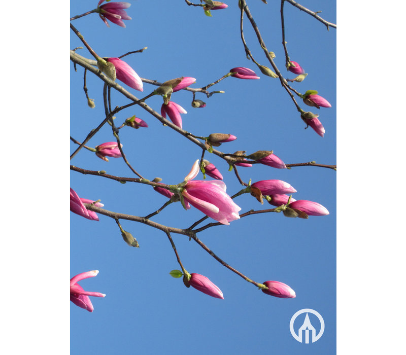 Magnolia 'Galaxy' | Beverboom - Meerstam