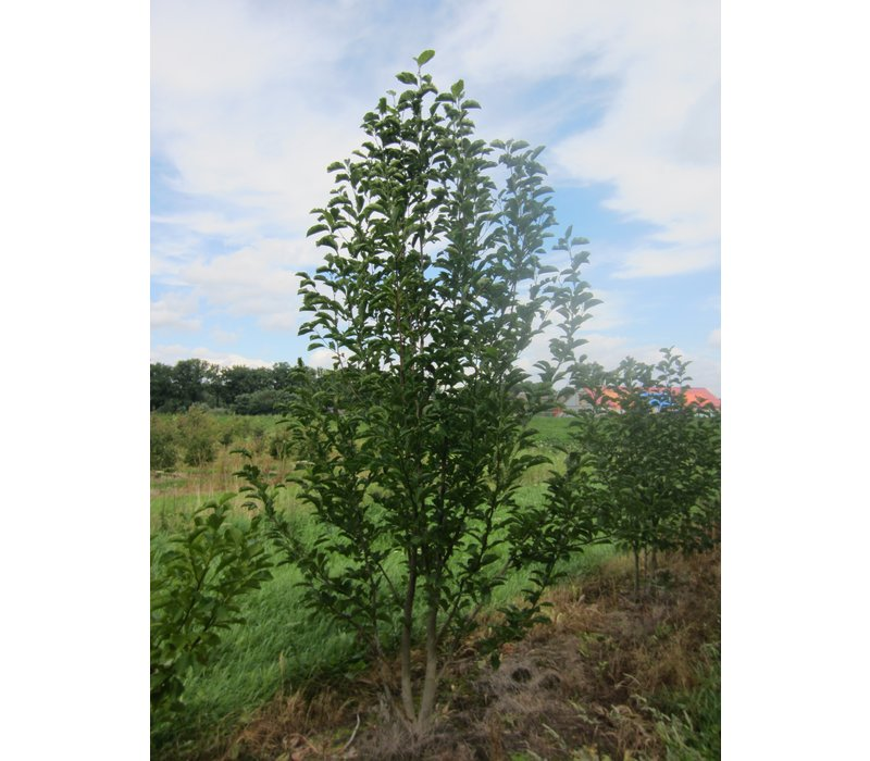 Magnolia kobus | Beverboom - Meerstam