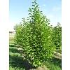 Boomkwekerij M. van den Oever Magnolia kobus | Beverboom - Meerstam