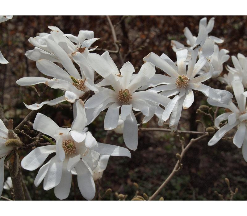 Magnolia stellata | Stermagnolia - Meerstam