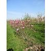 Boomkwekerij M. van den Oever Magnolia 'Susan' | Beverboom - Meerstam