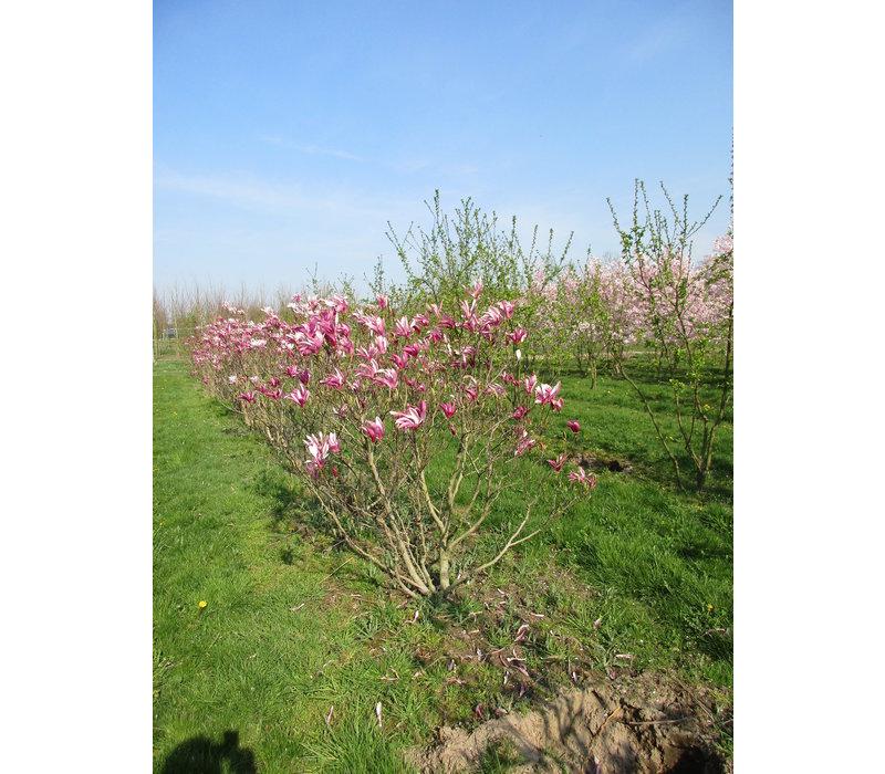 Magnolia 'Susan' | Beverboom - Meerstam