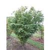 Boomkwekerij M. van den Oever Acer palmatum | Japanse esdoorn - Meerstam