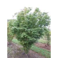 Acer palmatum | Japanse esdoorn - Meerstam