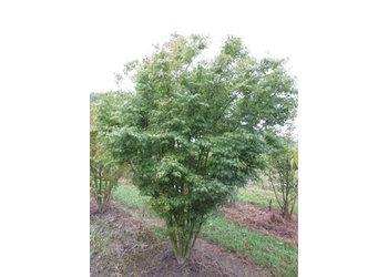 Boomkwekerij M. van den Oever Acer palmatum - Meerstam