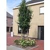Boomkwekerij M. van den Oever Quercus ilex | Steeneik