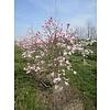 Boomkwekerij M. van den Oever Magnolia x loebneri 'Leonard Messel' | Beverboom - Meerstam