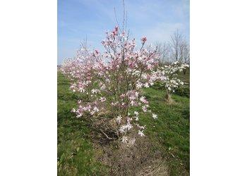 Boomkwekerij M. van den Oever Magnolia x loebneri 'Leonard Messel' - Meerstam