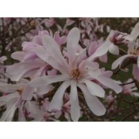 Magnolia x loebneri 'Leonard Messel' | Beverboom - Meerstam
