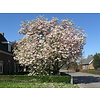 Boomkwekerij M. van den Oever Magnolia soulangeana | Beverboom - Meerstam