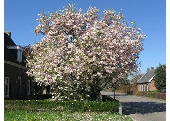 Boomkwekerij M. van den Oever Magnolia soulangeana - Meerstam