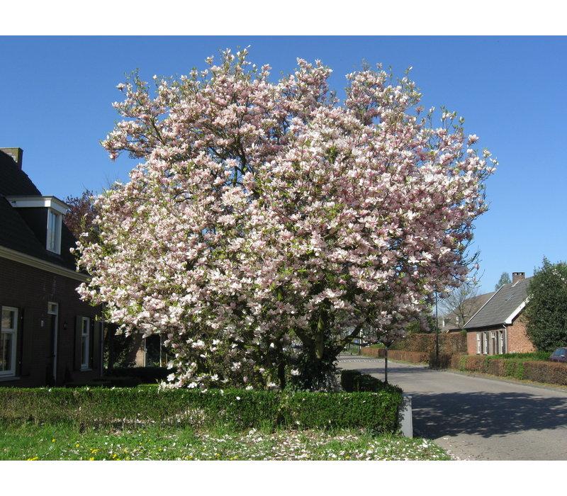 Magnolia soulangeana | Beverboom - Meerstam
