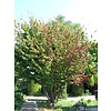 Boomkwekerij M. van den Oever Parrotia persica | Perzisch ijzerhout - Meerstam