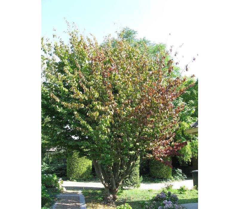 Parrotia persica | Perzisch ijzerhout - Meerstam