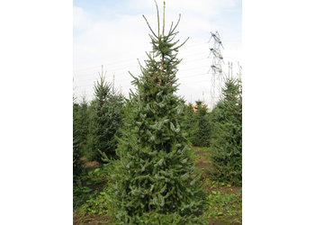 Boomkwekerij M. van den Oever Picea Omorika