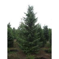Picea omorika - Fijnspar