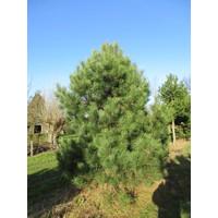 Pinus nigra subsp. nigra | Oostenrijkse den