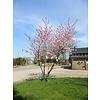 Boomkwekerij M. van den Oever Prunus 'Accolade' | Japanse sierkers - Meerstam