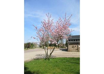 Boomkwekerij M. van den Oever Prunus 'Accolade'  - Meerstam