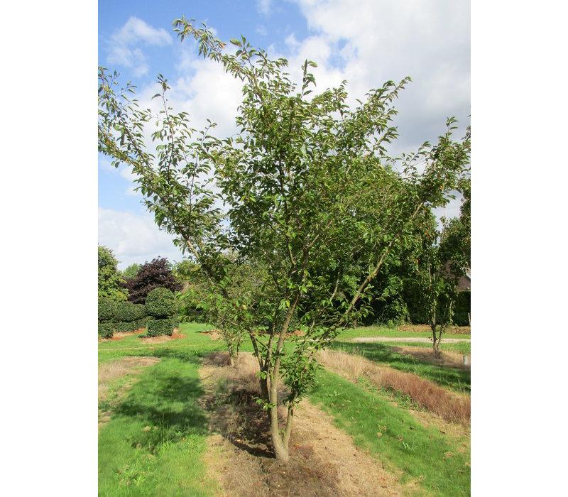 Prunus 'Accolade' | Japanse sierkers - Meerstam