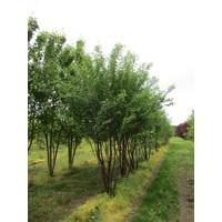 Prunus serrula | Sierkers - Meerstam