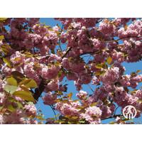 Prunus serrulata 'Kanzan' | Japanse sierkers - Meerstam