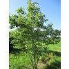 Boomkwekerij M. van den Oever Prunus serrulata 'Kanzan' | Japanse sierkers - Meerstam
