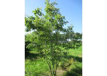Boomkwekerij M. van den Oever Prunus serrulata 'Kanzan' - Meerstam